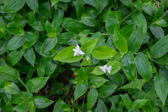 Tradescantia fluminensis - known as Wandering Jew or Wandering Willy, plant is an invasive weed in New Zealand, NZ; an ornamental garden plant elsewhere. Landscape orientation with white flowers.