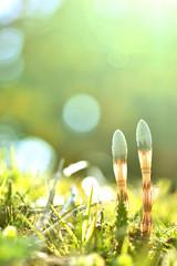 Photo sur Plexiglas Jaune de seuffre ツクシ 春の風景