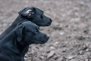 Labrador Retriever portraits