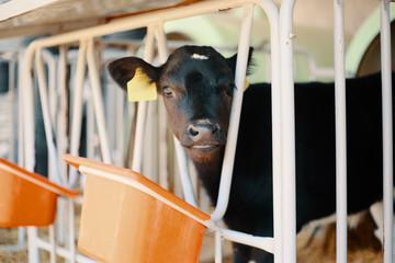 cow, Breakfast is served