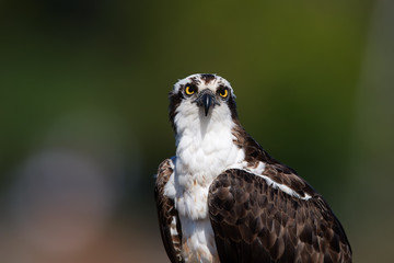 Isolated on blurred background, portrait of wild Osprey, Pandion haliaetus, staring directly at camera. Detail of fish eating bird of prey. Scotland,Europe.