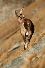 Capra ibex. Photo was taken in Italy. It is found in southern Europe, less in the Western and southern Asia and North Africa. Wildlife of Italy. Autumn in nature.