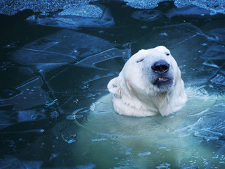 Photo sur Aluminium Ours Blanc Portrait of an unhappy polar bear from the water. Not nice thin ice.