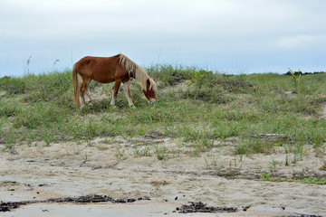 Wild Horse Grazing the Dunes at Cape Lookout National Seashore, North Carolina