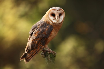 Tyto alba. Autumn nature. Wild nature of Czech. Owl in autumn nature. Beautiful Autumn in Czech. Wild nature. Barn Owl, photographed in the Czech Republic. A medium-sized species of owls. Found in Eur