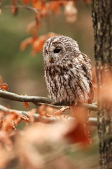 Strix aluco. Wild nature. Beautiful owl photo. Autumn nature of Czech. Beautiful colors in the photo. Bird on the photo. A rare bird.He lives in Europe, except for northern areas.
