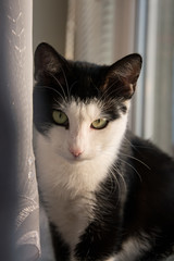 Portrait of a cute black and white cat sitting on a windowsill close to net curtain