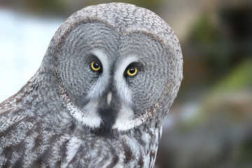 Grey owl looking directly at the spectator with bright yellow eyes