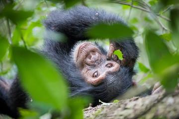 chimpanzee / schimpanse - uganda Wall mural