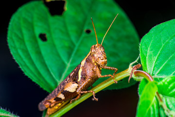 Brown Band-winged and short-horned Male Clear-winged Grasshopper (Orthoptera: Caelifera: Acrididae: Oedipodinae: Hippiscini: Camnula pellucida) sit on a green tree stem isolated with black background