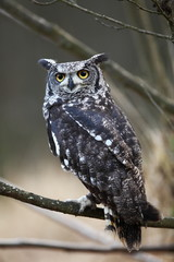 African owl inhabits central and southern Africa.