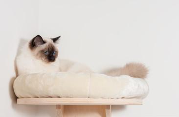 A seal point Birman cat, male with blue eyes is lying on cat shelf