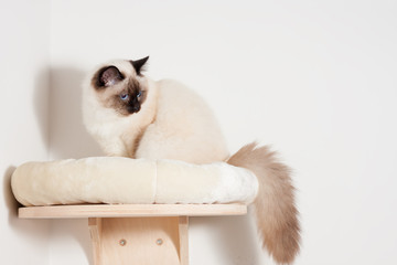 A seal point Birman cat, male with blue eyes is sitting on cat shelf