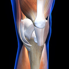 Knee Muscles and Ligaments Anterior X-Ray View on Black