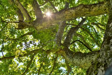 Sun through tree tops