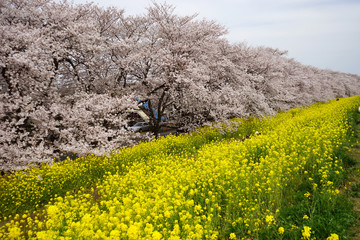 The cherry blossom in Kumagaya-Sakura-tsutsumi was in full bloom located in , Saitama pref in Japan.