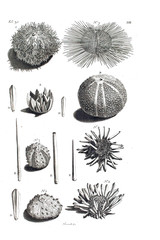 Illustration of a sea urchin