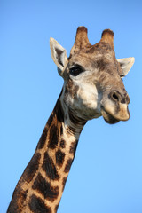 Giraffe Portrait against Blue Sky