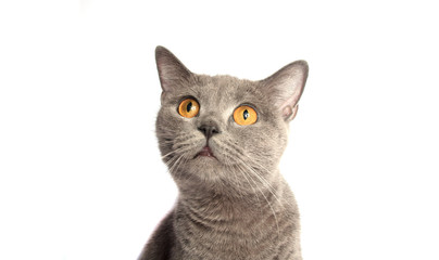 gray cat on the white background