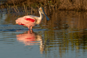 ROSEATE SPOONBILL; WADING; MIRRORED