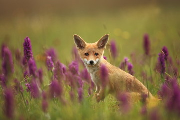 Vulpes vulpes. The animal is widespread throughout Europe. The wild nature of Europe. Autumn colors in the photo. Beautiful photo. Fox and orchid. Nature Czech.