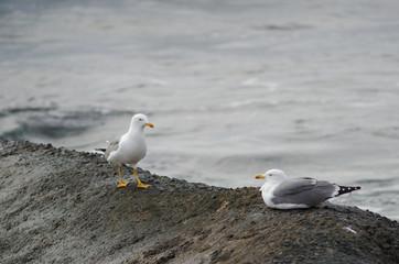 Yellow-legged gulls (Larus michahellis atlantis). Playa de Arinaga. Agüimes. Gran Canaria. Canary Islands. Spain.