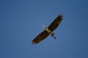 Grey heron (Ardea cinerea) in flight. Charca de Maspalomas. San Bartolomé de Tirajana. Gran Canaria. Canary Islands. Spain.