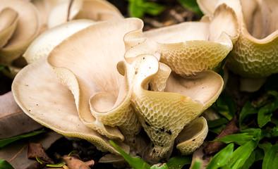 Pleurotus ostreatus, the oyster mushroom
