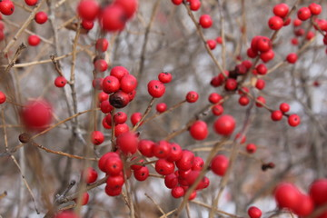Red Berry Winter
