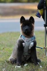 Akita Puppy / Dog Breed / Hiking Pet