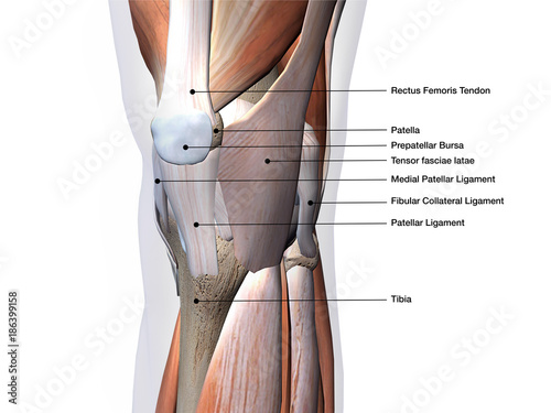 Search Photos Patellar Ligament
