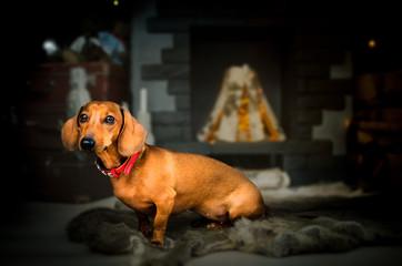 short red Dachshund Dog, hunting dog