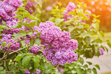 Wall Murals Lilac Beautiful fresh purple violet flowers. Close up of purple flowers. Spring flower, a branch of lilac. Lilac bush, lilac background.