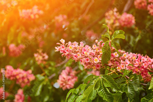 Beautiful background of spring blooming pink chestnut tree flowers beautiful background of spring blooming pink chestnut tree flowers mightylinksfo