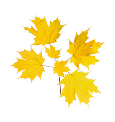 Yellow fall leaves of a sugar maple
