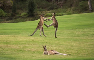 Two male Australian native Kangaroos fighting in grass field behind resting female kangaroo
