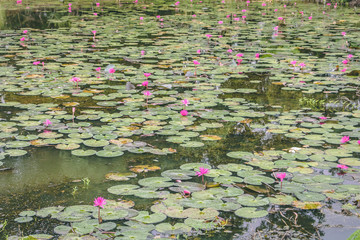 pond with blossoming flowers