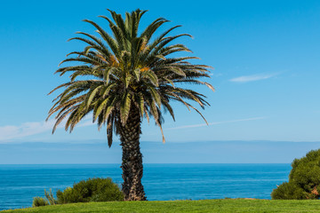 Canary Island Date Palm with ocean background