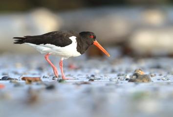 Haematopus ostralegus. The wild nature of the North Sea. Mid-sized bird. Bird on the beach. Germany. Beautiful nature.