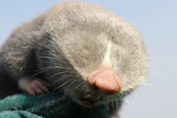 close up of lesser mole rat head