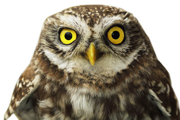 close up of little owl eyes