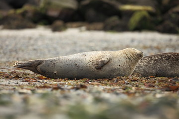 Phocidae. Beautiful wild nature of the North Sea. Germany. Seal on the beach. Nature of Europe.