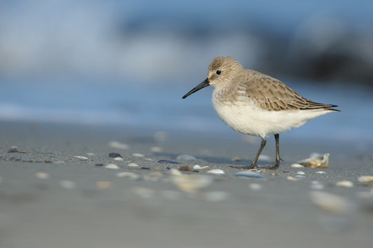 Sandpiper (Calidris alpina) photographed in its natural environment, the sea in winter.
