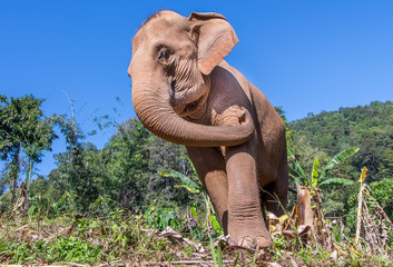 A large Asian elephant in a jungle in northern Thailand