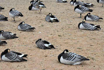 Canada geese resting on a beach