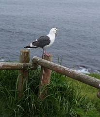Seagull on a fence flying around Kiritappu cape, Hokkaido, Japan