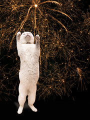 cute white cat conducts in the new year - fireworks and New Year's Eve