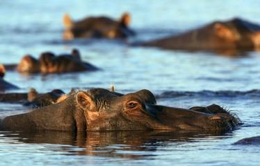 Hippopotamus - Chobe River- Botswana