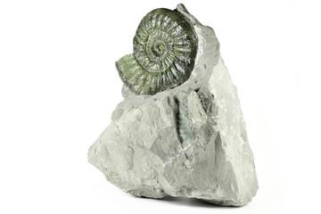 fossil Orthosphinctes proinconditus ammonite from Upper Palatinate, Germany isolated on white background