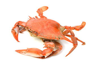 Steamed Blue Crab on white background, one of the symbols of Maryland State and Ocean City